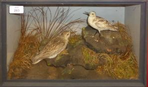 Taxidermy cased pair of waders in naturalistic setting, 26 x 40cm