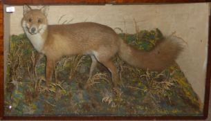 Taxidermy cased Fox in naturalistic setting, 57 x 95cm