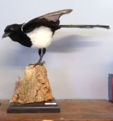 Taxidermy uncased Magpie on naturalistic base