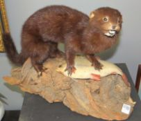 Taxidermy cased Mink with Fish on naturalistic base