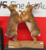 Taxidermy uncased pair of boxing Hares on wooden base