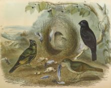 "After J & E Gould, ""Ptilonorhynchus holosericeus (Kuhl)"", coloured lithograph, published by C"