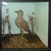 Taxidermy cased Stone Curlew in naturalistic setting, by H N Pashley, 46 x 46cm