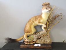 Taxidermy uncased Weasel on naturalistic base