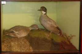 Taxidermy cased pair of ducks in naturalistic setting by H N Pashley, 50 x 78cm (a/f)