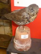 Taxidermy uncased Thrush on plant pot