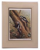RALPH WATERHOUSE (born 1943) Great Spotted Woodpeckers coloured print, published by Wild Life