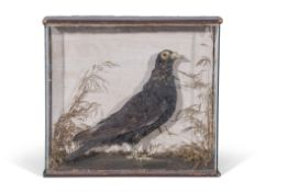 Taxidermy cased pigeon in naturalistic setting, 36 x 39cm