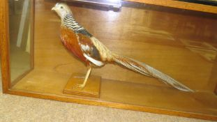 Taxidermy cased Golden Pheasant