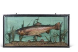 Taxidermy cased salmon in naturalistic setting, 46 x 91cm