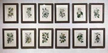 19th CENTURY BOTANICAL HAND COLOURED ENGRAVINGS, a set of twelve, framed and glazed, 35cm x 27cm.