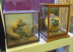 TAXIDERMY, Squirrels in a glazed case, 47cm W x 47cm H, and Kingfishers in a glazed case,