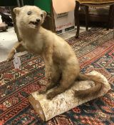 A taxidermy stuffed and mounted Pinemart