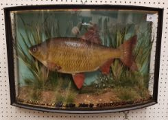A taxidermy stuffed and mounted Rudd in naturalistic setting and verre eglomise bow-fronted glazed