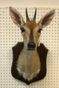 A taxidermy stuffed and mounted Common Grey Duiker head and shoulders mount, with horns,