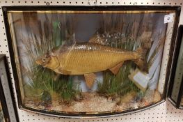 A Victorian taxidermy stuffed and mounted Roach in verre eglomise bow-fronted glazed display case