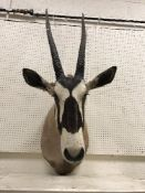 A taxidermy stuffed and mounted Oryx / Gemsbok head and shoulder mount, with horns,