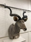 A taxidermy stuffed and mounted Greater Kudu head and shoulder mount, with horns,