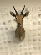A taxidermy stuffed and mounted Mountain Reedbuck head and shoulder mount, with horns,