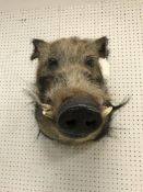 A taxidermy stuffed and mounted Bush Pig head and shoulders mount, with tusks,