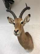 """A taxidermy stuffed and mounted Impala head and shoulder mount with horns inscribed verso""""Impala 17"""
