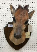 A taxidermy stuffed and mounted Red Duiker head and shoulders mount, with horns,