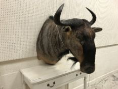 A taxidermy stuffed and mounted Blue Wildebeest shoulder mount, with horns, approx 67.