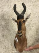 A taxidermy stuffed and mounted Hartebeest head and shoulder mount, with horns,