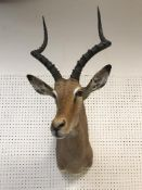 A taxidermy stuffed and mounted Impala head and shoulder mount, with horns,