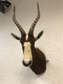 A taxidermy stuffed and mounted Blesbok head and shoulder mount, with horns,