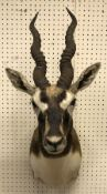 A taxidermy stuffed and mounted Blackbuck head and shoulders mount, with horns,