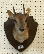 A taxidermy stuffed and mounted Suni head and shoulders mount, with horns,
