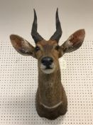 A taxidermy stuffed and mounted Bushbuck head and shoulder mount, with horns,