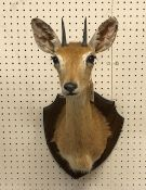 A taxidermy stuffed and mounted Oribi head and shoulders mount, with horns,