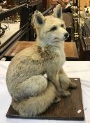 A taxidermy stuffed and mounted full mount Fox in seated position, on an oak base,