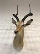 A taxidermy stuffed and mounted Impala head and shoulders mount, with horns,
