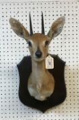 A taxidermy stuffed and mounted Steenbok head and shoulders mount, with horns,