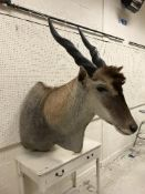 A taxidermy stuffed and mounted Eland shoulder mount, with horns, approx 125 cm high x 60 cm wide,