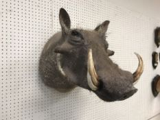 A taxidermy stuffed and mounted Warthog head and shoulder mount, with tusks,