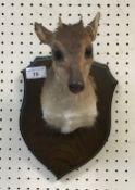 A taxidermy stuffed and mounted Blue Duiker head and shoulders mount, with horns,