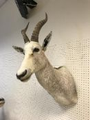 A taxidermy stuffed and mounted White Blesbuck head and shoulders mount, with horns,