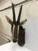 A taxidermy stuffed and mounted Sable shoulder mount, with horns,