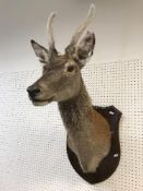 A taxidermy stuffed and mounted Juvenile Red Deer Stag with antlers in fur,