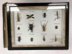 A modern framed and glazed collection of insects including Locust, Praying Mantis, Grasshopper,