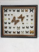 A modern framed and glazed collection of 37 various lepidoptery specimens including Atlas Moths,