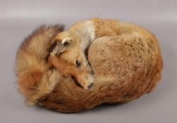 A taxidermy study of a fox in a curled position.
