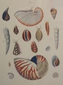 Two prints of shells,