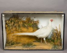 A late 19th/early 20th century preserved taxidermy specimen of a white pheasant (Phasianus