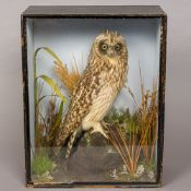 A late 19th/early 20th century preserved taxidermy specimen of a short-eared owl (Asio flammeus) In