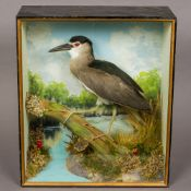 A modern preserved taxidermy specimen of a night heron (Nycticorax nycticorax) In naturalistic